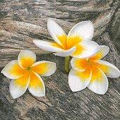 Салфетки для декупажа Цветок Франжипани, 33x33см, 3 слоя, 20шт Paper+Design 21894