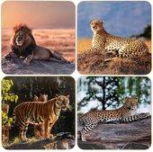 Подставки под стакан Lesser & Pavey Сафари Большие кошки 4шт 11x11см LP94022