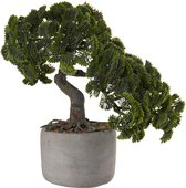 Бонсай Кипарис Asa Selection Bonsai в горшке h24.5x17.5 66222/444